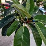 Ficus altissima Foglia