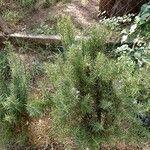 Rosmarinus officinalis Alkat (teljes növény)