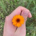 Adenophyllum porophyllum