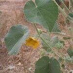 Abutilon pannosum
