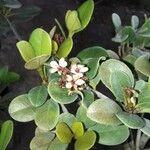 Rhaphiolepis indica