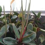 Peperomia clusiifolia