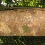 Schefflera decaphylla