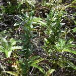 Faujasiopsis flexuosa