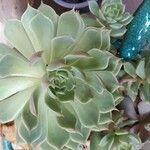 Echeveria spp.
