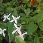 Clematis terniflora Kwiat