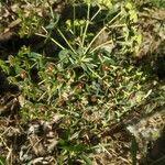 Euphorbia characias List