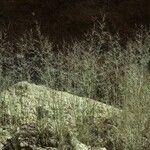 Muhlenbergia microsperma