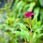Celosia argentea Fiore