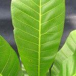 Anacardium excelsum