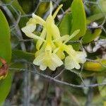 Epidendrum boricuarum