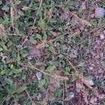 Amaranthus deflexus