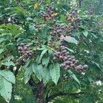 Lagerstroemia speciosa Fruit