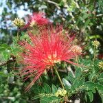 Calliandra falcata