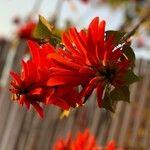 Erythrina corallodendron