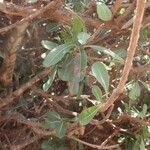 Manilkara mochisia 葉