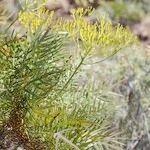Sonchus arboreus