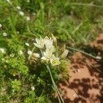 Nothoscordum gracile