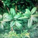 Jasminum nudiflorum List
