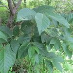 Holarrhena floribunda