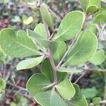 Searsia lucida
