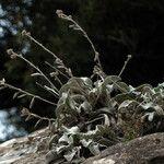 Inula verbascifolia