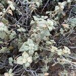 Shepherdia rotundifolia Blad