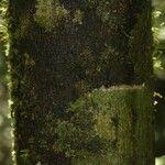 Dodecastigma integrifolium