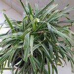 Phalaris arundinacea List