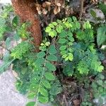 Phyllanthus tenellus Foglia