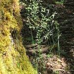 Festuca heterophylla