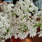 Allium coloratum