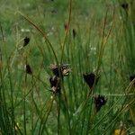 Juncus arcticus