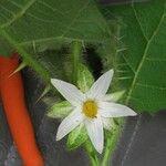 Solanum capsicoides