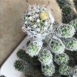Opuntia pilifera