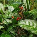 Aglaonema marantifolium