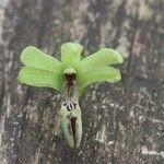Dendrobium deplanchei