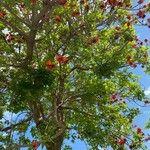 Erythrina variegata
