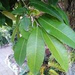 Backhousia citriodora
