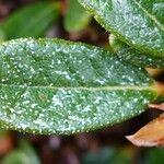Rhododendron forrestii