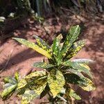 Codiaeum variegatum Blad