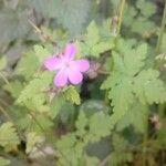 Geranium robertianum Kukka