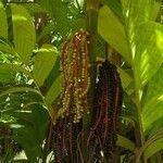 Chamaedorea pinnatifrons