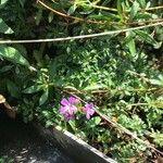 Chaenorhinum origanifolium