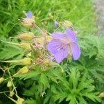 Geranium pratense Flower