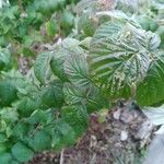 Rubus idaeus Foglia