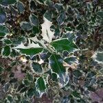 Ilex aquifolium Hoja