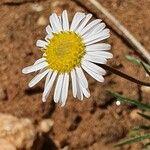 Felicia abyssinica Flower