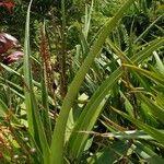 Aloe macra List