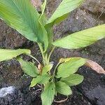 Curcuma longa Leaf